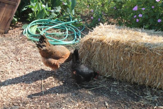 Chickens Pecking at a Bale of Hay
