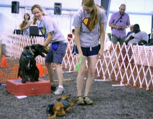 ammo keystone dachshund races