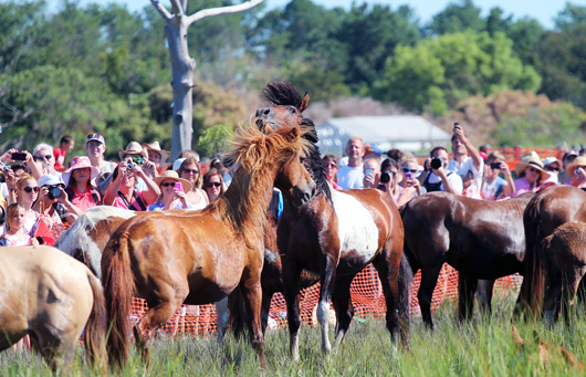 2012 Chincoteague Pony Penning - Minnow the Painting Pony