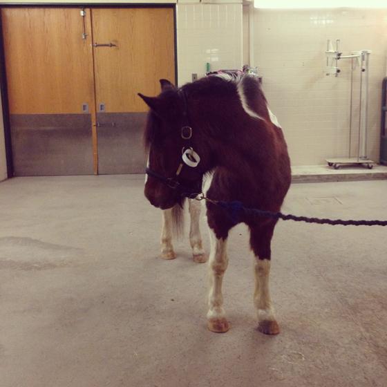 Managing Ringbone - Chincoteague Minnow's Trip to New Bolton // Painting Pony