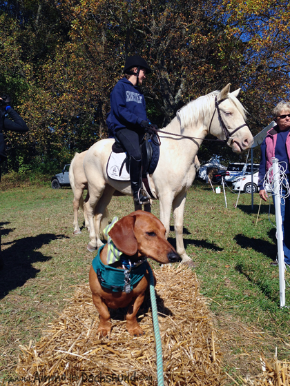 Chincoteague Pony Drill Team at the Fair Hill International
