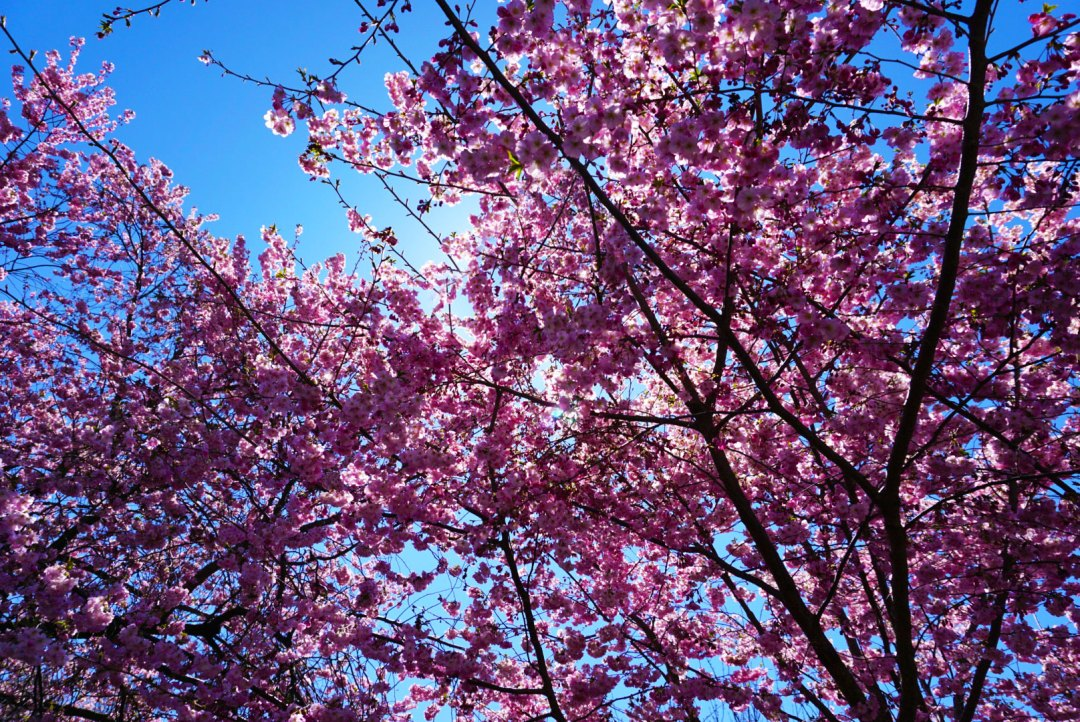 cheery-blossoms