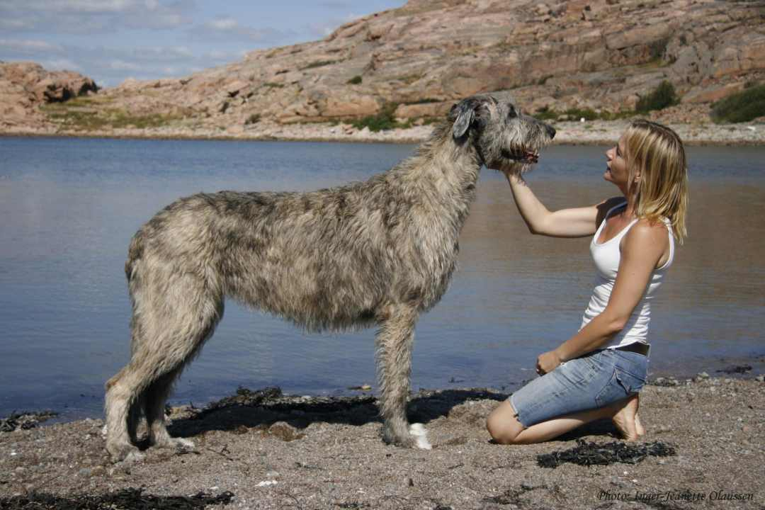 irish-wolfhound3