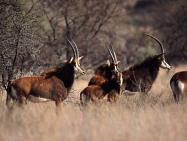 Antelope abound in the Kgaswane Mountain Reserve