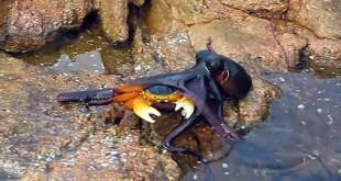 Vidéo. Un poulpe attaque un crabe par surprise