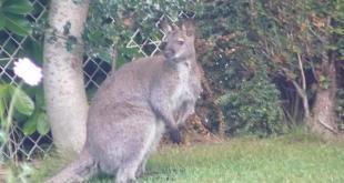 Normandie : un petit kangourou retrouvé à Envermeu !