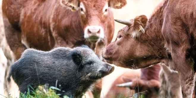 Un sanglier adopté par un troupeau de vaches, la famille recomposée