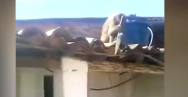 Vidéo. Ivre, le singe menace les clients au couteau