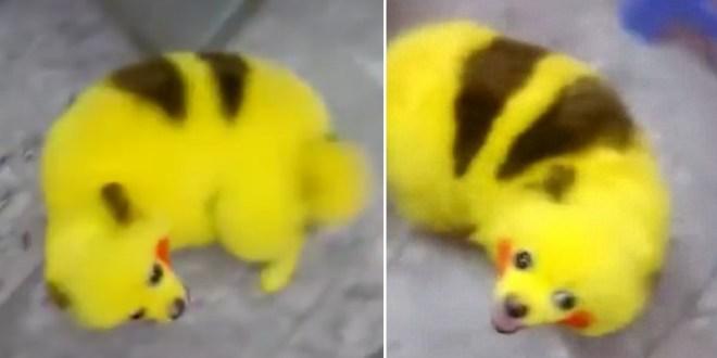 Un fan de Pokémon Go peint son chien à l'effigie de Pikachu