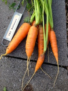 "Bright orange Baltimore Carrots picked 6"", but would continue to grow to 12"""