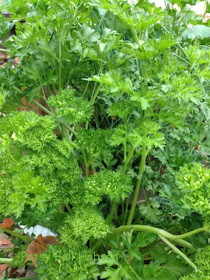There's lots of parsley in the garden this fall.