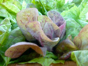 Brune D'Hiver Lettuce is tender, mild little lettuce that works best with other mixed lettuces. It's tender leaves and mild taste can not carry the salad by it's self.