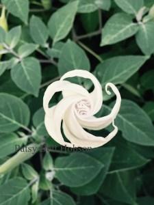Moonflower Ipomoea alba just before bloom