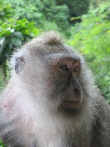 Portrait of a Balinese macaque