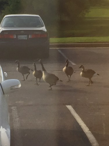 geese-July242015-2