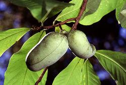 Owoce Paw Paw