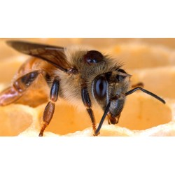 Marvellous Silence Bees About Nature Pbs Do Bees Sleep During Winter Do Bees Sleep At Night Time