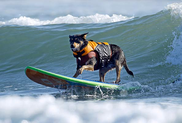 Surfing Australian Kelpie Photo: Mike Blake/Reuters