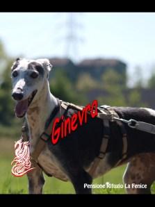 Ginevra