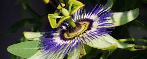 cropped-Passiflora_caerulea_makro_close-up-e1472482207454.jpg