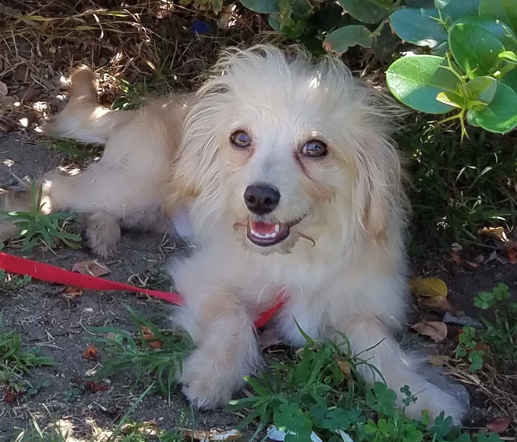 Trendy Robby Can Dogs Eat Savannah Smiles Can Dogs Smile Or Laugh Months Beige Maltese Some Dogs Make You Androbby Is One Who Makes Everyone A Friendly Dog bark post Can Dogs Smile