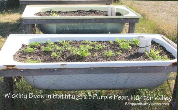 wicking-beds-in bathtubs Purple Pear