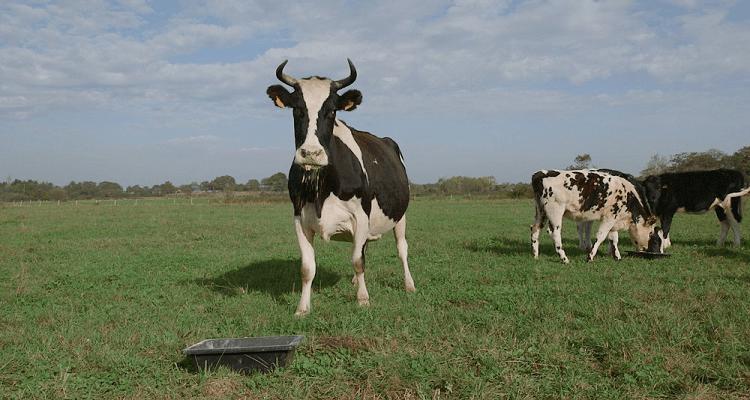 Le veau la vache et le territoire