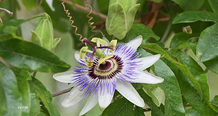 fleur colombie