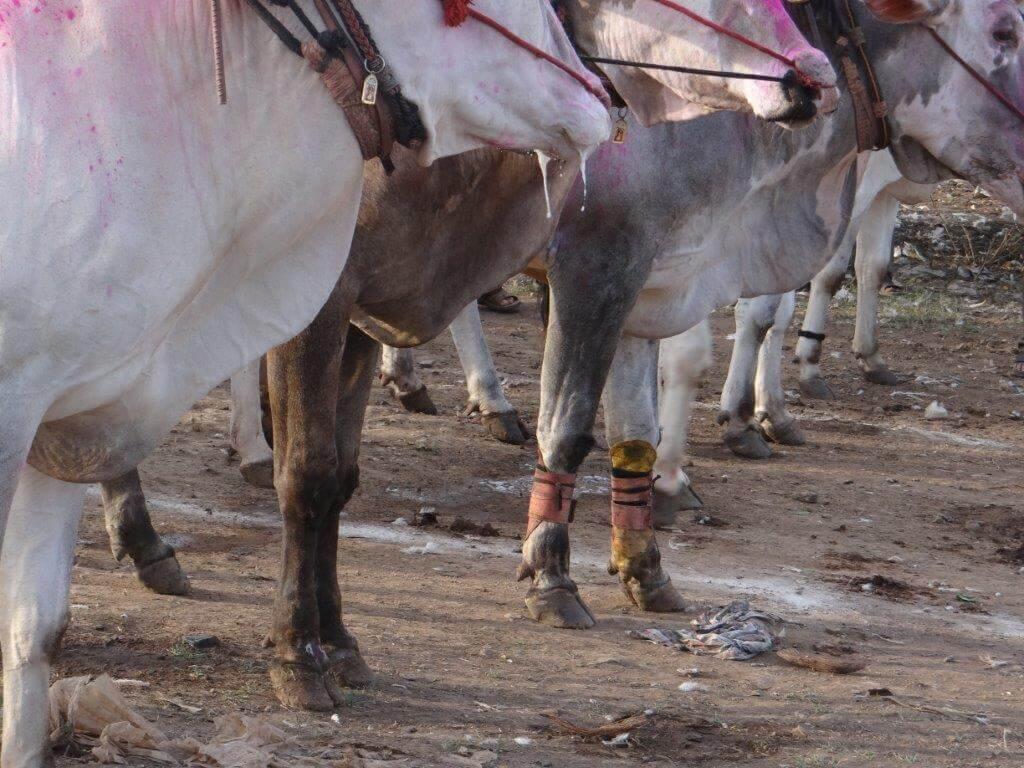Mutable Previous Next Peta Files Petition Sc Against Maharashtra Bullock Cart Races What Does Peta Stand Urban Dictionary What Do Initials Peta Stand For nice food What Does Peta Stand For