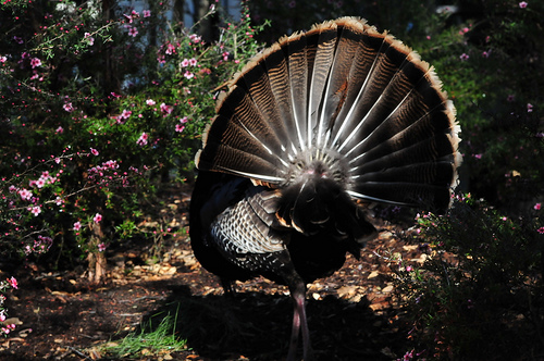 Happy Turkey Day! 5 Portraits of our Feathered Friends 2449425839 ffbede4515