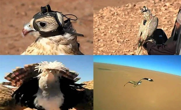 Helmet Cam Strapped to Hunting Falcon Captures Birds Eye View Footage falcon mini