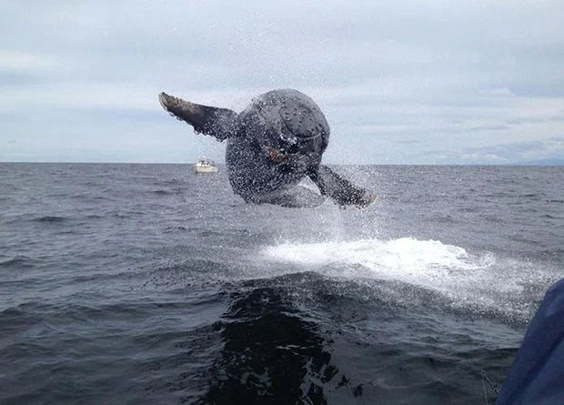 Amazing Photo of a Humpback Whale Breaching a Boat Length Away whalebreaching mini