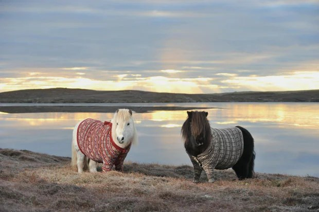 Adorable Photographs of Scottish Ponies Wearing Cardigan Sweaters shetland ponies cardigans6