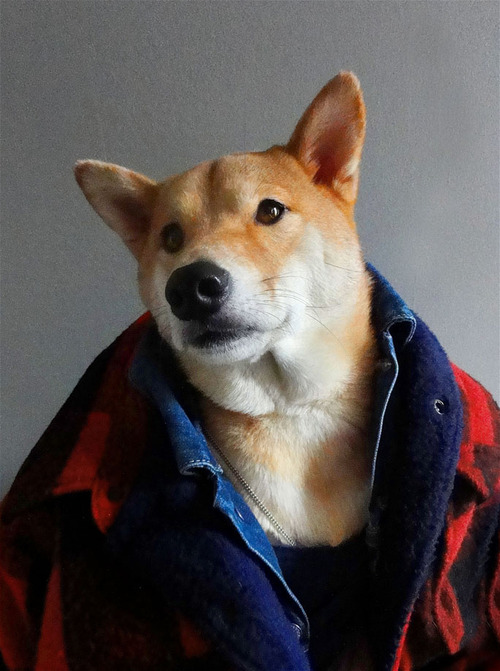 Menswear Dog Features Photos of Mens Fashion, Modeled by a Shiba Inu dogmenswear 12