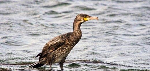 Cormorant at Blashford Lakes
