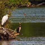 Great White Egret & Cormorant