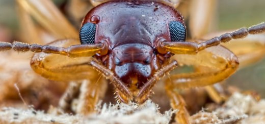 Earwig face on