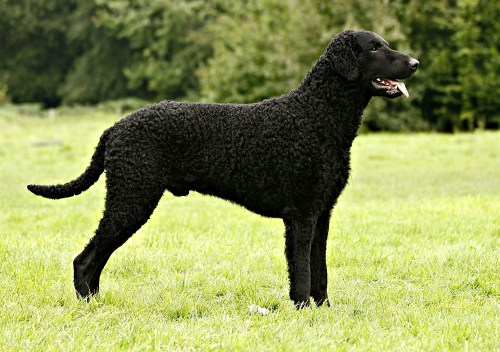Medium Of Dogs With Curly Tails