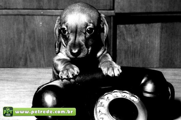 cachorro-filhote-telefone-petrede
