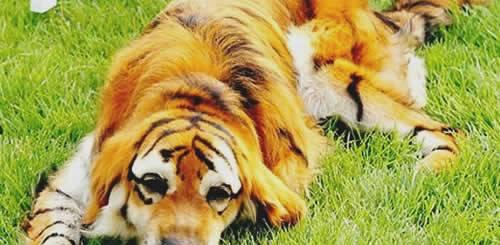 pet-rede-cachorro-labrador-pintado-de-tigre