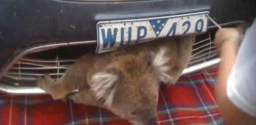 petrede-coala-atropelado