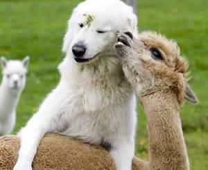 petrede-cachorro-amizade-alpaca