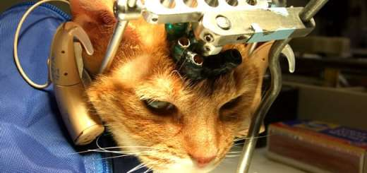 gato-cobaia-laboratorio-pesquisa-experiencia-petrede