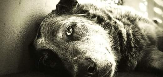 cachorro-velho-idoso-olhar-petrede