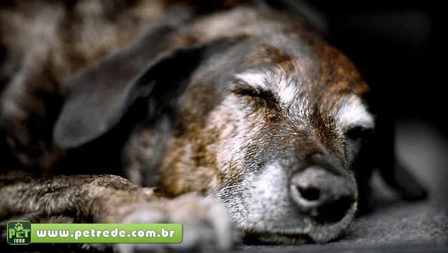 cachorro-velho-idoso-petrede