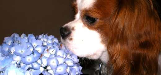 cachorro-cheirando-flores-petrede