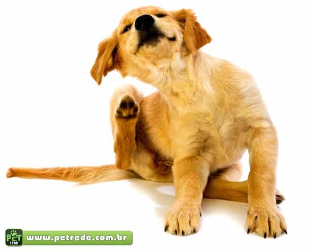 cachorro-labrador-cocando-pulga-petrede