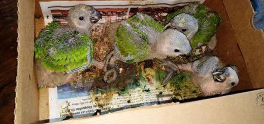 Papagaios ainda são filhotes / Foto: divulgação PM Ambiental MS