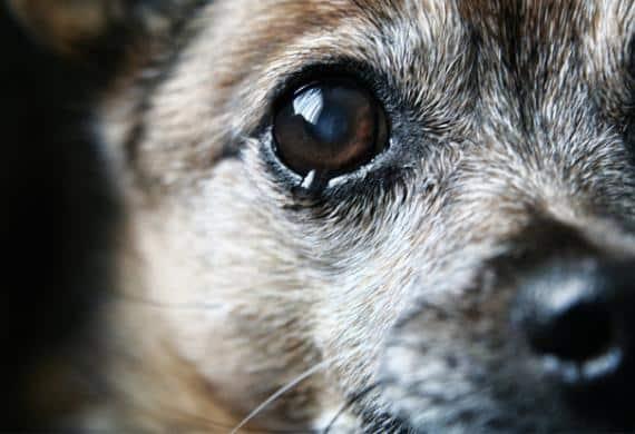 cachorro-olho-chorando-lagrima-triste-petrede