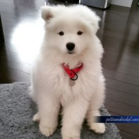 Ellie Samoyed Puppy 9 weeks look